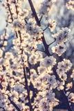 Να εξισώσει τον ανθίζοντας κήπο Ηλιοβασίλεμα και άσπρα λουλούδια Κλάδος των βερίκοκων με τα λουλούδια στοκ φωτογραφία με δικαίωμα ελεύθερης χρήσης