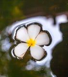Να επιπλεύσει λουλουδιών Plumeria Στοκ φωτογραφία με δικαίωμα ελεύθερης χρήσης