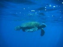 να επιπλεύσει χελώνα Στοκ Εικόνες