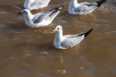Να επιπλεύσει Seagull Στοκ Εικόνα