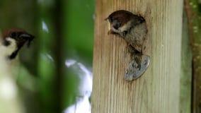 Να ικετεύσει το ευρασιατικό σπουργίτι δέντρων σε Brummen, Κάτω Χώρες φιλμ μικρού μήκους
