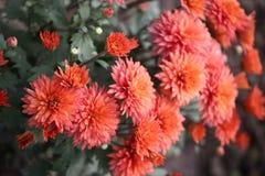 να καταπλήξει παρακαλώ τη φυσική φωτογραφία λουλουδιών ομορφιάς για όλα τα τριαντάφυλλα κρίνων που διαβάστηκαν αυξήθηκε κίτρινος  Στοκ Εικόνες