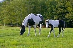 Να καλύψει με χορτάρι φοράδων και Foal Στοκ Εικόνες