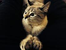 Να κοιτάξει επίμονα γατών Στοκ Εικόνες