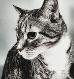 Να κοιτάξει επίμονα γατών Στοκ εικόνα με δικαίωμα ελεύθερης χρήσης