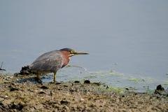 να κοιτάξει επίμονα πουλιών στοκ εικόνα με δικαίωμα ελεύθερης χρήσης