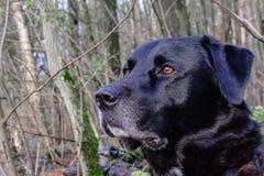 Να κοιτάξει επίμονα σκυλιών, μη ενθυμούμενος ποιου ` s που συμβαίνει δίπλα σε τον Στοκ φωτογραφίες με δικαίωμα ελεύθερης χρήσης