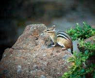 Να κοιτάξει επίμονα Chipmunk Στοκ Φωτογραφίες