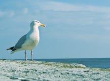 να κοιτάξει θέτει έξω seagull θάλ&al Στοκ Φωτογραφία