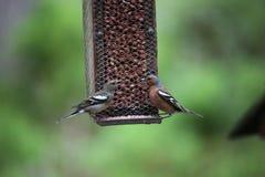 να κουβεντιάσει πουλιώ&n Στοκ Εικόνα