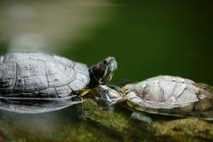 να κουβεντιάσει χελώνα Στοκ εικόνες με δικαίωμα ελεύθερης χρήσης