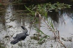 να κρυφτεί gator Στοκ φωτογραφίες με δικαίωμα ελεύθερης χρήσης