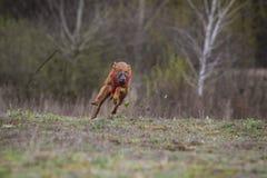 Να κυλήσει, τρεξίματα σκυλιών Pharaoh πέρα από τον τομέα Στοκ Εικόνες