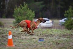 Να κυλήσει, τρεξίματα σκυλιών Pharaoh πέρα από τον τομέα Στοκ Εικόνα