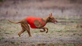 Να κυλήσει, τρεξίματα σκυλιών Pharaoh πέρα από τον τομέα Στοκ Φωτογραφία