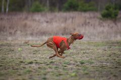 Να κυλήσει, τρεξίματα σκυλιών Pharaoh πέρα από τον τομέα Στοκ φωτογραφίες με δικαίωμα ελεύθερης χρήσης