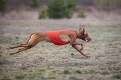 Να κυλήσει, τρεξίματα σκυλιών Pharaoh πέρα από τον τομέα Στοκ εικόνα με δικαίωμα ελεύθερης χρήσης