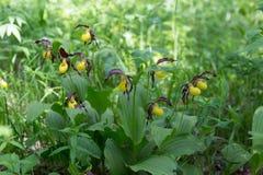 Να μεγαλώσει στη σκιά του calceolus Cypripedium παντοφλών του Μπους της σπάνιας specieswild κίτρινης κυρίας ορχιδεών grandiflora στοκ φωτογραφίες