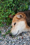 να ονειρευτεί σκυλιών κεφάλι Στοκ Εικόνα