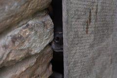 Να οξύνει σκυλιών μέσω μιας τρύπας Στοκ Φωτογραφίες