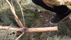 Να περιορίσει ένα χριστουγεννιάτικο δέντρο Χρησιμοποίηση του πριονιού στον κορμό δέντρων Να πριονίσει ένα ζωντανό χριστουγεννιάτι απόθεμα βίντεο