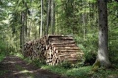 να περιορίσει τα δέντρα στο δάσος Bialowieza Στοκ Φωτογραφίες