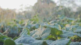 Να ποτίσει ποτίσματος κήπων πράσινος οργανικός σπόρος κηπουρικής κήπων σποροφύτων σε 4K φιλμ μικρού μήκους