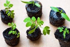 Να προετοιμαστεί για την καλλιέργεια των εγκαταστάσεων στον κήπο πράσινος νεαρός βλαστός ήρθε άνοιξη Γόνιμο έδαφος Φυσικό προϊόν  Στοκ Εικόνες