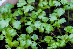 Να προετοιμαστεί για την καλλιέργεια των εγκαταστάσεων στον κήπο πράσινος νεαρός βλαστός ήρθε άνοιξη Γόνιμο έδαφος Φυσικό προϊόν  Στοκ Φωτογραφίες