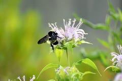 Να προμηθεύσει με ζωοτροφές μελισσών Bumble στα μωβ λουλούδια beebalm Στοκ Φωτογραφίες