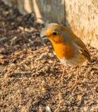 Να προμηθεύσει με ζωοτροφές της Robin για τα τρόφιμα την άνοιξη στοκ εικόνες με δικαίωμα ελεύθερης χρήσης