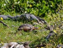 Να προμηθεύσει με ζωοτροφές Tortoise Angulate Στοκ Φωτογραφίες