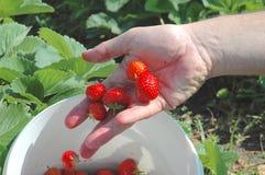 Να προχωρήσει τις φρέσκες φράουλες Στοκ εικόνα με δικαίωμα ελεύθερης χρήσης