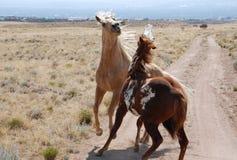 Να πυγμαχήσει τα άλογα χρωμάτων Palomino στο βρώμικο δρόμο Στοκ Φωτογραφία
