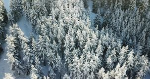 Να πυροβολήσει άνωθεν στον κηφήνα Τα κωνοφόρα δέντρα καλύπτονται με το χιόνι Πέταγμα σε ένα χιονώδες φαράγγι απόθεμα βίντεο