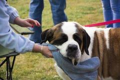 Να σαλιώσει το drooling σκυλί Στοκ Φωτογραφίες