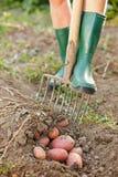 Να σκάψει επάνω τις πατάτες στοκ φωτογραφίες με δικαίωμα ελεύθερης χρήσης