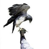 Να σκαρφαλώσει αετών που απομονώνεται σε ένα άσπρο υπόβαθρο Στοκ Φωτογραφία