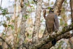 Να σκαρφαλώσει αετών φιδιών Στοκ φωτογραφία με δικαίωμα ελεύθερης χρήσης
