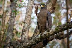 Να σκαρφαλώσει αετών φιδιών Στοκ φωτογραφίες με δικαίωμα ελεύθερης χρήσης