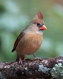Να σκαρφαλώσει θηλυκός καρδινάλιος Στοκ Εικόνες