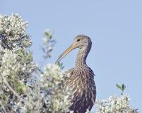 Να σκαρφαλώσει πουλιών Limpkin Στοκ φωτογραφίες με δικαίωμα ελεύθερης χρήσης