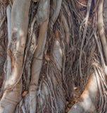 Να συμπλέξει τις ρίζες του δέντρου στοκ φωτογραφία