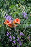 Να συρθεί Bellflower και άμπελος σαλπίγγων στοκ φωτογραφία με δικαίωμα ελεύθερης χρήσης