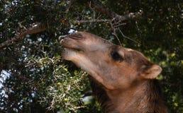 Να ταΐσει καμηλών με ένα Argan δέντρο Στοκ εικόνες με δικαίωμα ελεύθερης χρήσης