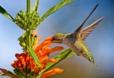 Να ταΐσει κολιβρίων με το λουλούδι Στοκ Εικόνες