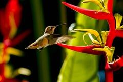 Να ταΐσει κολιβρίων με Heliconia Στοκ φωτογραφία με δικαίωμα ελεύθερης χρήσης