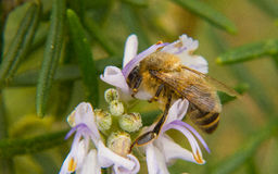 Να ταΐσει μελισσών μελιού με ένα άσπρο λουλούδι Στοκ Φωτογραφίες