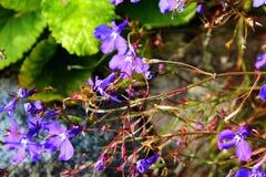 Να ταΐσει μελισσών μελιού με μια μακροεντολή λουλουδιών Στοκ Εικόνες