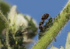 Να ταΐσει μυρμηγκιών με την πράσινη μύγα Στοκ φωτογραφία με δικαίωμα ελεύθερης χρήσης